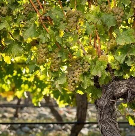 Stoneleigh Grapes (1)